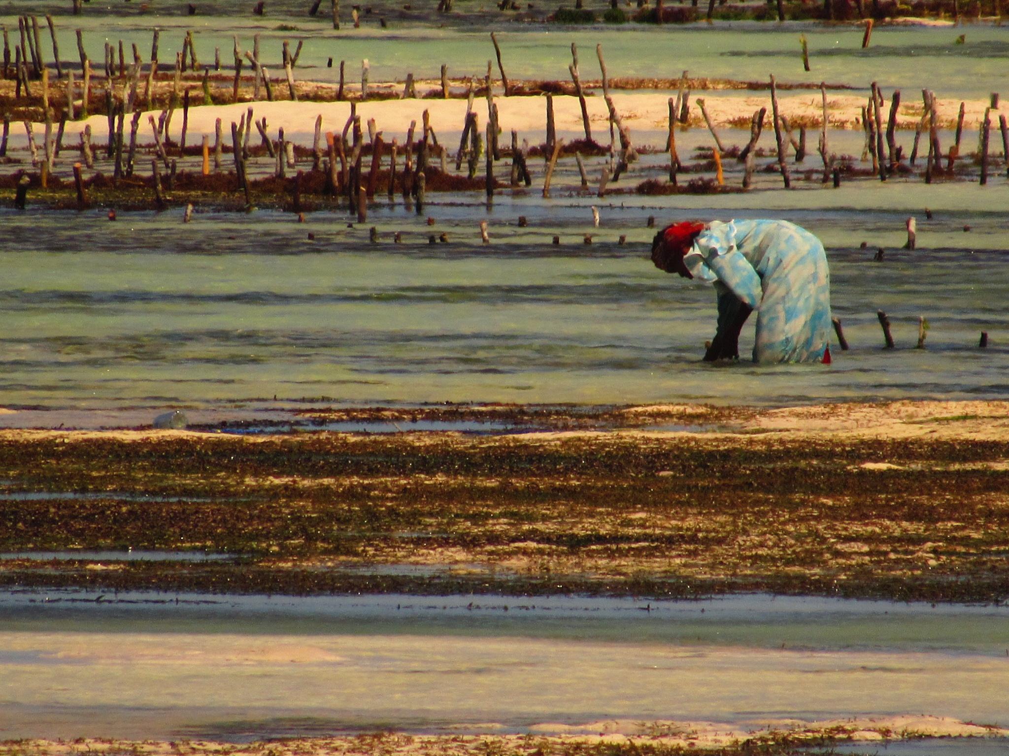 Women working in the seaweed farm on Jambiani Beach in Zanzibar, Tanzania