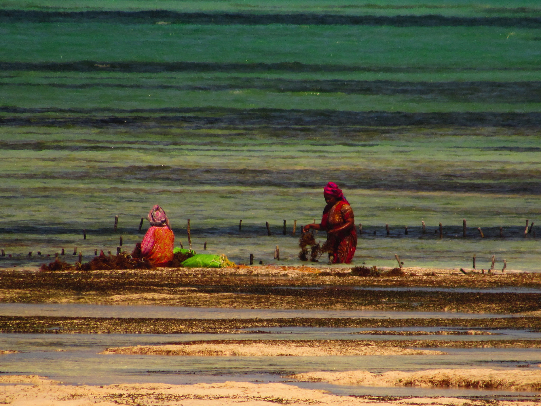 Women working in the seaweed farm on Jambiani Beach in Zanzibar, Tanzania