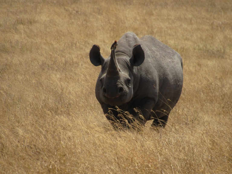 A rhino in a field with a bird on the back