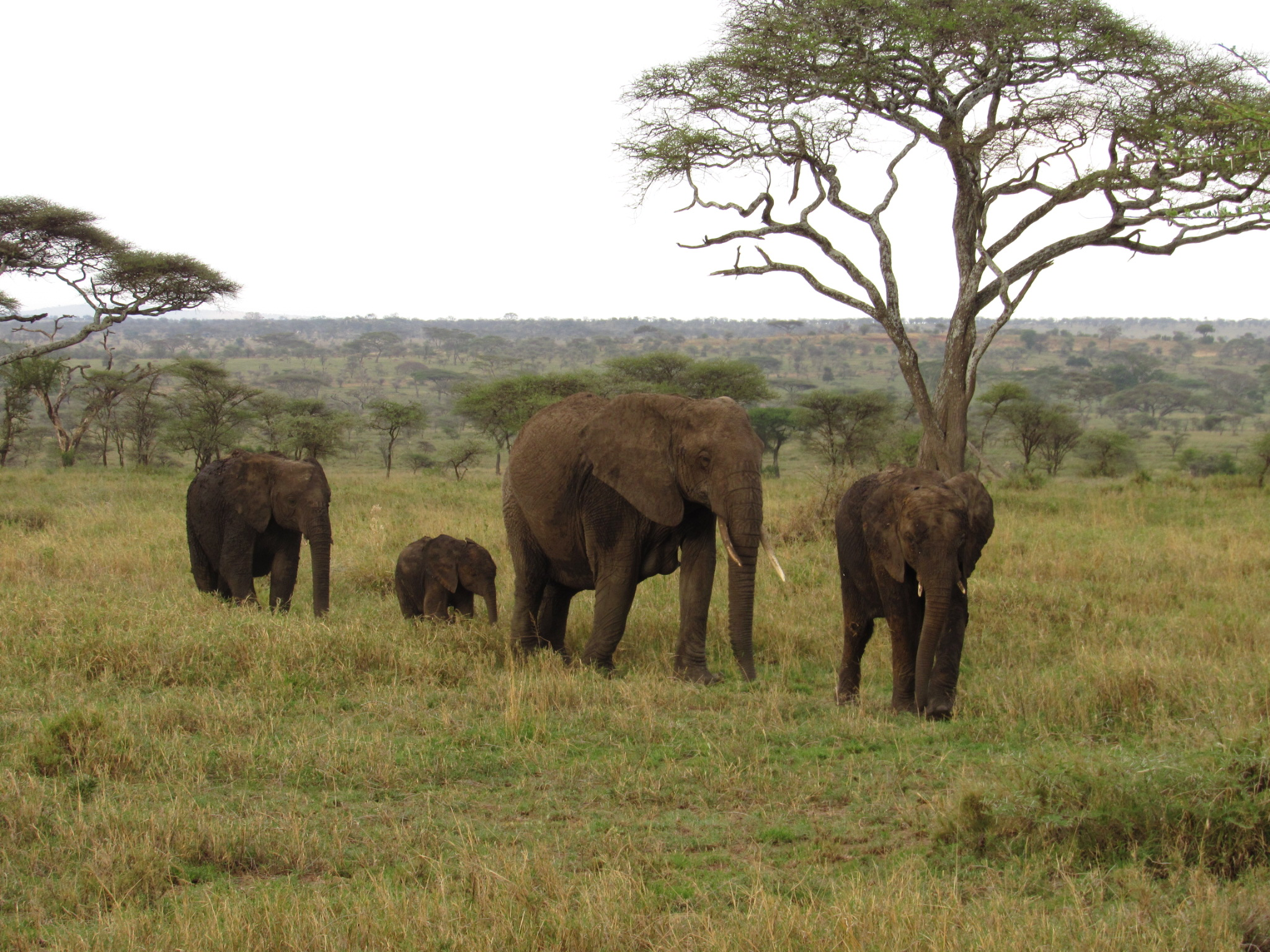 A groups of four elephants